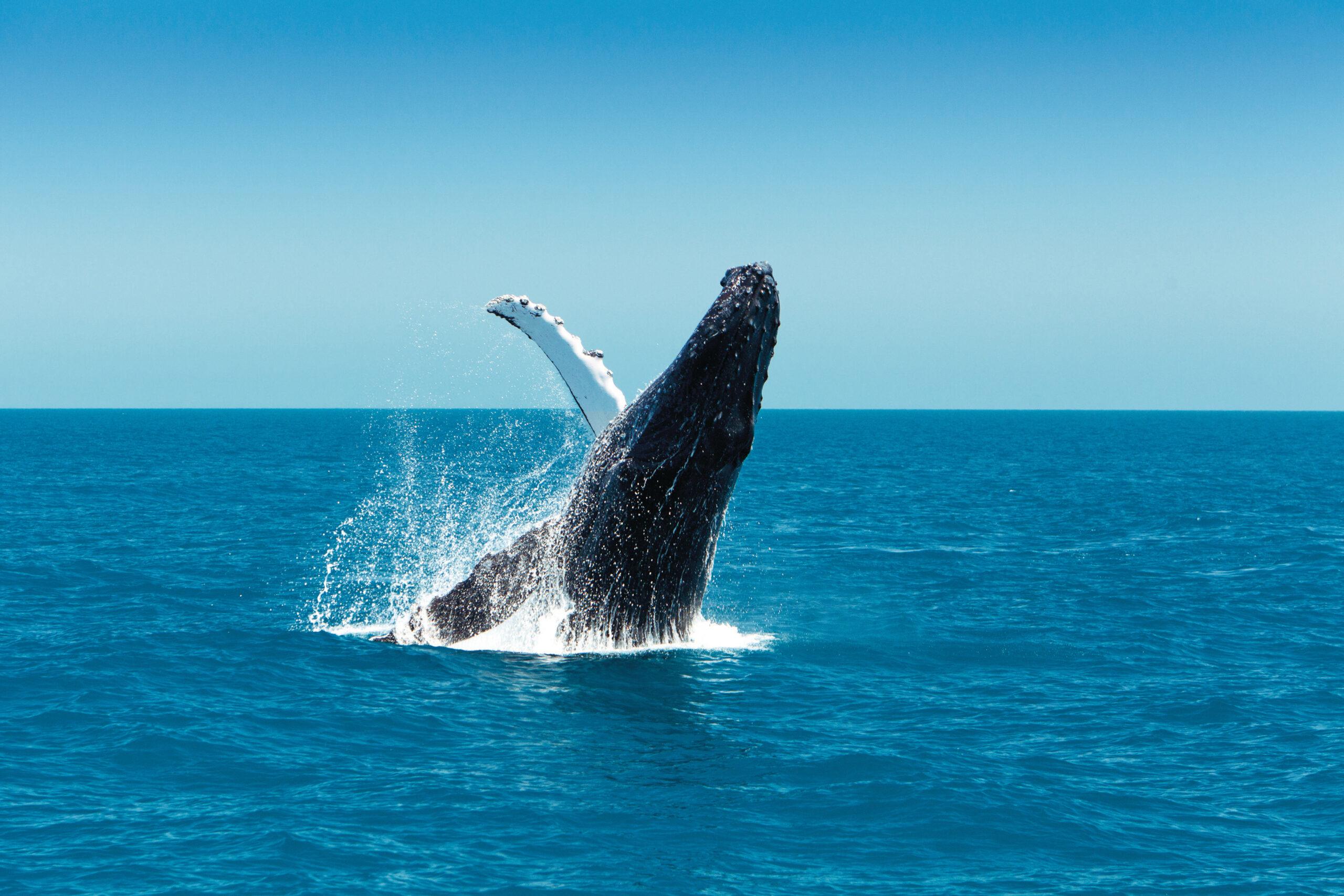 YOTSPACE superyacht voyages - Great Barrier Reef - Humpack Whales