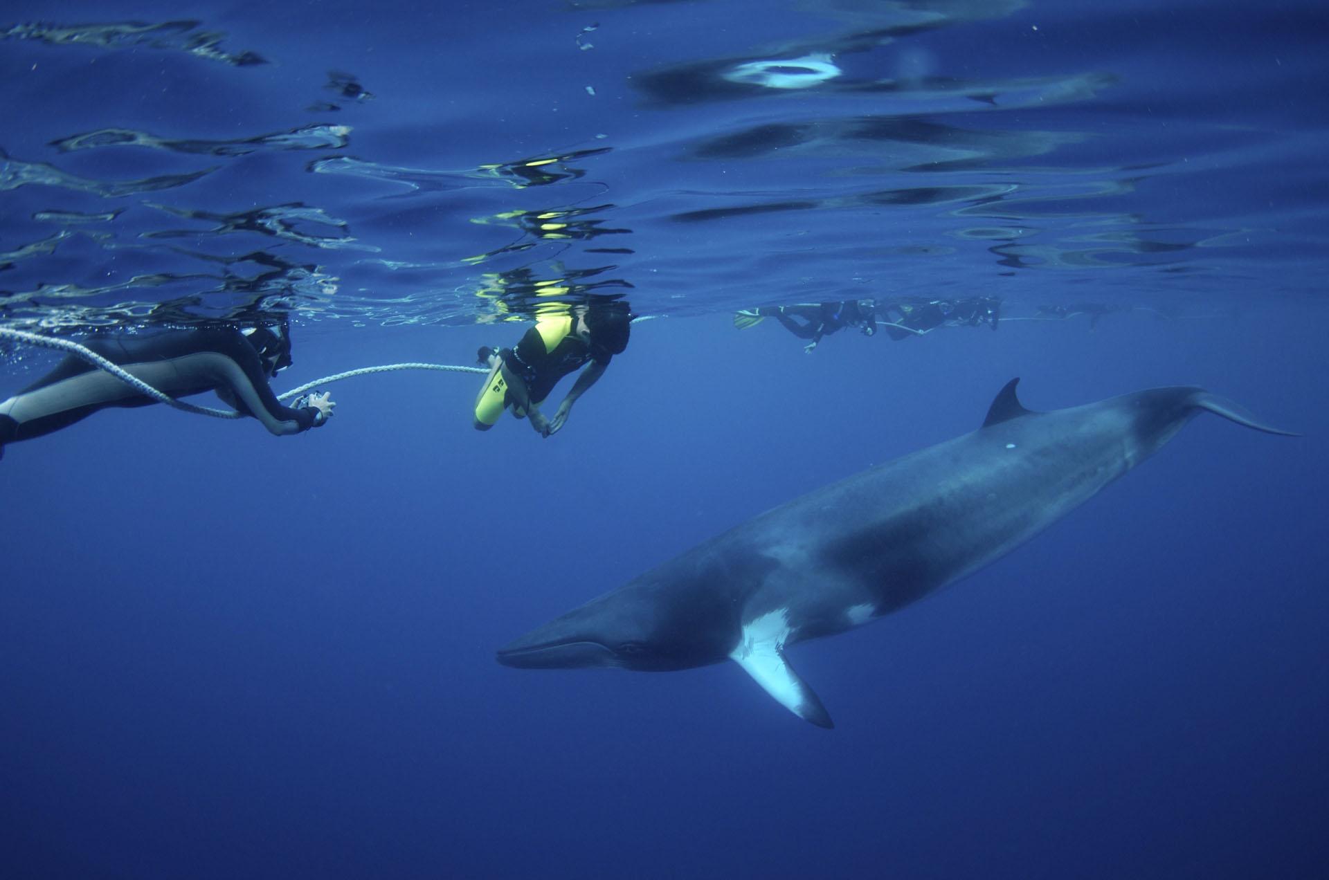 YOTSPACE superyacht voyages Great Barrier Reef - Swim with Dwarf Minke Whales
